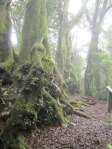 antarctic beech trees Springbrook