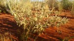 bush tomatoes w