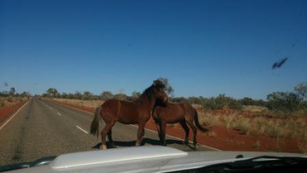 Wild horses in the Centre of Australia