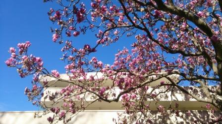magnolias w