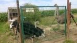 Ostriches in Grimbergen